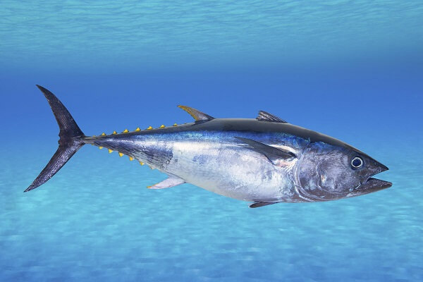 Tuna- Best Testosterone Boosting Foods
